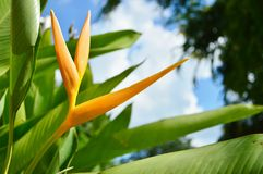 Strelitzia Flower Stock Image