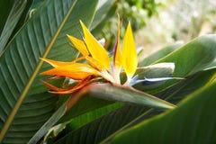 Strelitzia flower, Strelitzia reginae. Also known as crane flower and bird of paradise Royalty Free Stock Images