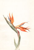 Strelitzia flower watercolor painting. The hand drawn watercolor of a strelitzia flower Stock Photography