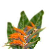 Strelitzia flowers Royalty Free Stock Photography