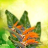 Strelitzia flowers  on bokeh background Royalty Free Stock Photos