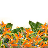 Strelitzia flowers border. Bird of paradise flower (Strelitzia) flowers border  isolated on white bacground Stock Photography
