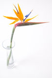 Strelitzia in glasvaas op wit Stock Fotografie