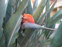 Strelitzia im Garten in der natürlichen Umwelt stockfotos