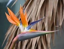 Strelitzia kwiat Fotografia Stock