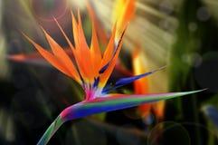 Strelitzia kwiat obraz stock