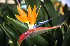 Strelitzia kwiat Zdjęcia Royalty Free