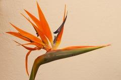 Strelitzia kwiat Obrazy Stock