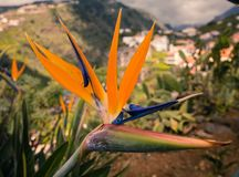 Strelitzia kwiatu madera obrazy royalty free