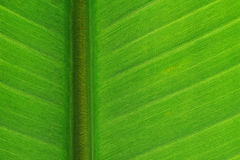 Strelitzia leaf Royalty Free Stock Photos