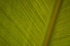 Strelitzia leave Stock Photo