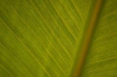 Strelitzia leave. Green Strelitzia leave in macro stock photo