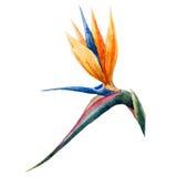 Strelitzia målning, blommar Arkivfoton