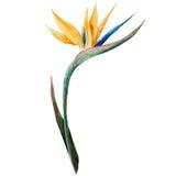 Strelitzia målning, blommar Fotografering för Bildbyråer