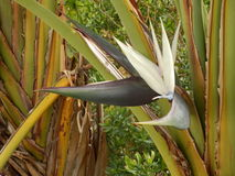 Strelitzia Nicolai Royalty Free Stock Photo