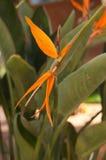 Strelitzia - pássaro de paraíso Imagem de Stock