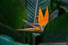 Strelitzia Reginae красивого цветка королевский окружил темные ые-зелен листья Форма оранжевого и синего цветка необыкновенная в  Стоковые Изображения