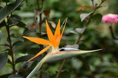 Strelitzia reginae fotografia stock libera da diritti