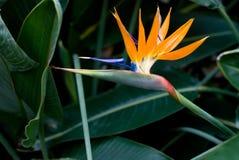 Strelitzia reginae. Bright tropical flower of Strelitzia reginae Stock Image