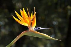 Strelitzia reginae. Flower in a botanical garden Stock Image