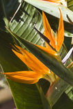 Strelitzia reginae Stockfotografie
