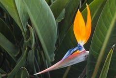 Strelitzia Reginae. Wonderful blossom of Strelitzia Reginae on the Canary Islands Royalty Free Stock Images
