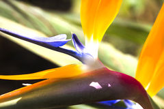 Strelitzia Reginae royalty-vrije stock foto