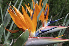 Strelitzia Reginae Photo libre de droits