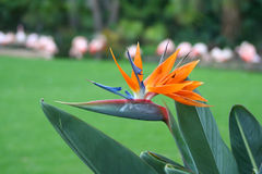 Strelitzia reginae Stock Photo