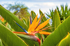 Strelitzia Reginae Royalty Free Stock Photos