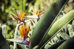 Strelitzia Reginae, a bird of paradise Stock Image