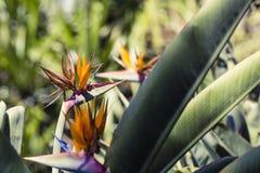 Strelitzia Reginae, a bird of paradise Royalty Free Stock Photos