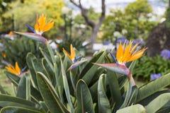 Strelitzia Reginae, a bird of paradise Royalty Free Stock Photo