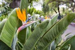 Strelitzia Reginae, a bird of paradise Stock Photography