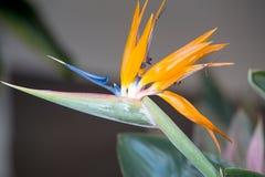 Strelitzia reginae. Or Bird of Paradise Stock Images