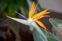 Strelitzia reginae. Or Bird of Paradise Royalty Free Stock Images