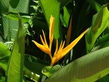 Strelitzia Reginae - bird of paradise. Bird of paradise Beautiful yellow flower Strelitzia Reginae stock images