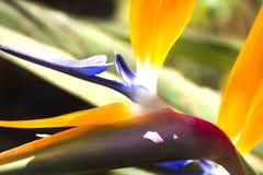 Strelitzia reginae Royalty Free Stock Photo