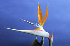 Strelitzia reginae Bird of Paradise flower against a blue background Stock Photography
