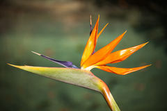 Strelitzia reginae  Royalty Free Stock Photography