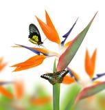 Strelitzia reginae, bird of paradise flower with butterfies Stock Photos