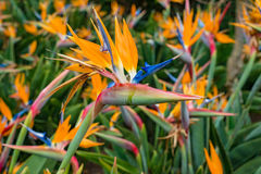 Strelitzia reginae, Bird of paradise flower Crane Flower Stock Image