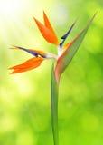 Strelitzia reginae, bird of paradise flower Stock Photography