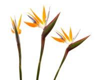 Strelitzia reginae Stock Images