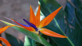 Strelitzia reginae Stock Photos
