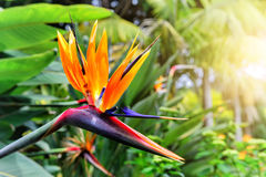 Strelitzia Reginae closeup (bird of paradise flower). Madeira is Royalty Free Stock Photography