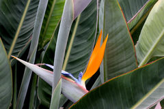 Strelitzia reginae, Crane flower, Bird of paradise Royalty Free Stock Images