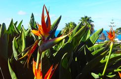 Strelitzia Reginae flower  bird of paradise flower. Madeira island Royalty Free Stock Images