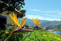 Strelitzia Reginae flower or bird of paradise, typical flower of Madeira Royalty Free Stock Images