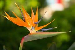Strelitzia reginae flower. Close up view of a Strelitzia reginae flower in the garden Royalty Free Stock Photo